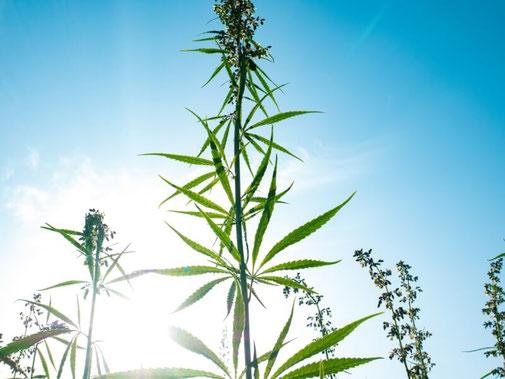 Bio-CBD-Öl von darumBio! lässt sich wunderbar in der Aromatherapie verwenden
