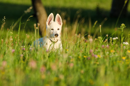 Mels Hundeausbildung - Welpen- und Junghundeschule