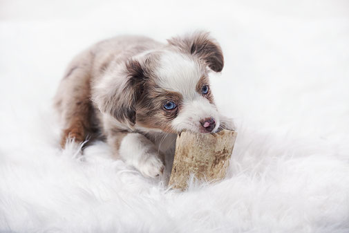 Chihuahua Sammy beim Dreh - Mels Hundeausbildung / Premium-Hundeschule für Stuttgart