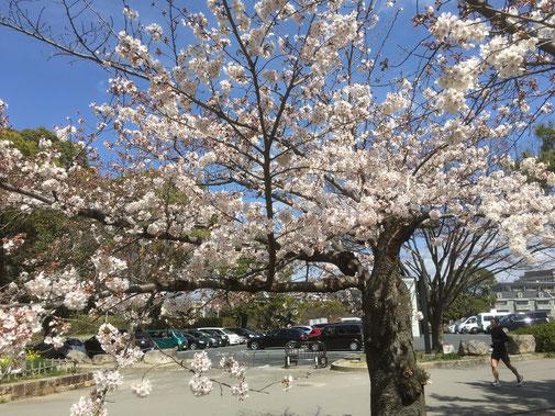大阪城の桜も開花