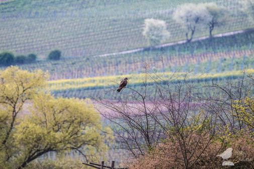 Schwarzmilan Milvus migrans im Laubenheimer Ried vor Weinbergen
