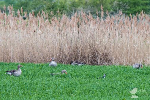 Graugänse und Kiebitz (Vanellus vanellus) im Laubenheimer Ried