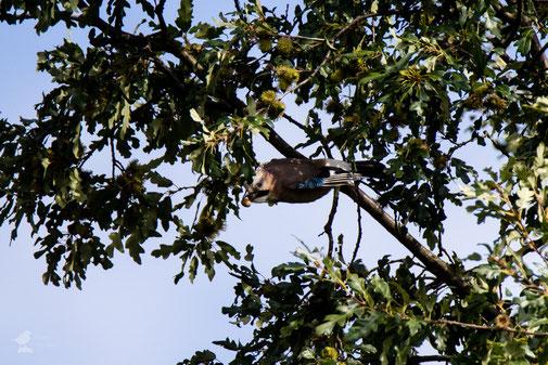 Eichelhäher im Baum beim Start