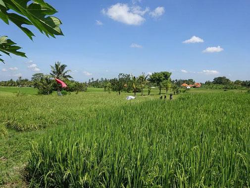 Sayan land for sale. Ubud land for sale