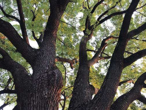 4月28日(2020) クスノキの森:森と言っても1本の木です。幹回りが3m以上の木を巨樹というようですが、4mはあったと思います。木の真下に入って見上げると森にいる気分です。早朝散歩にて