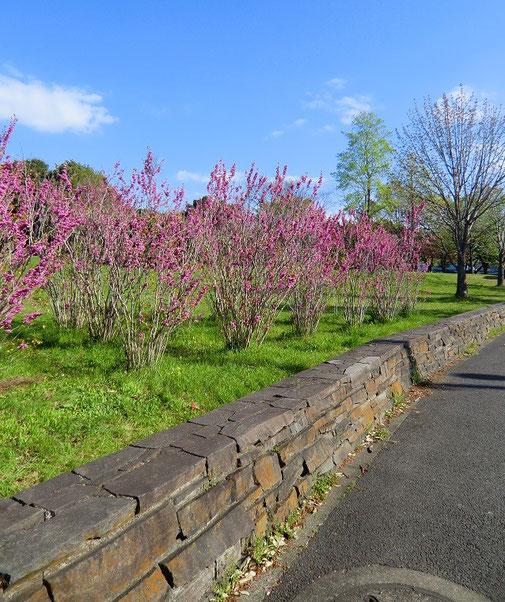 4月15日(2013) ハナズオウの咲く道(神代植物公園東側の側道で4月13日に撮影:調布市)