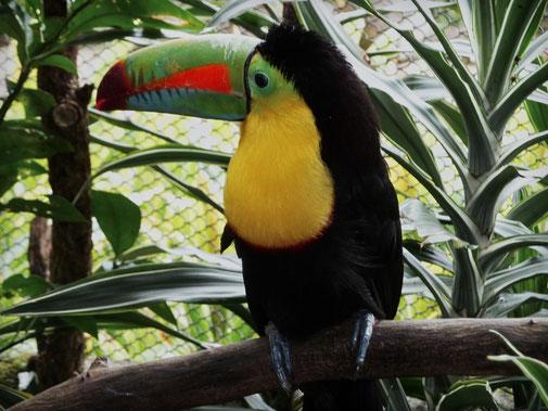 Ein Tukan. Paradiesvogel.