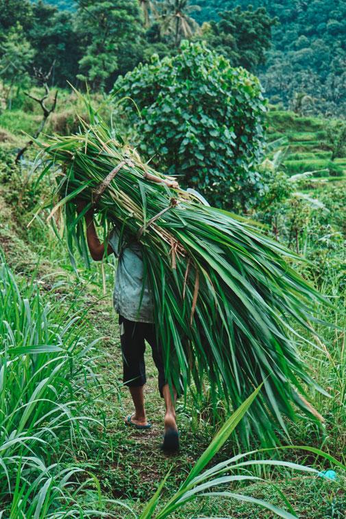 Mann trägt Pflanzen auf dem Rücken durch Reisfelder