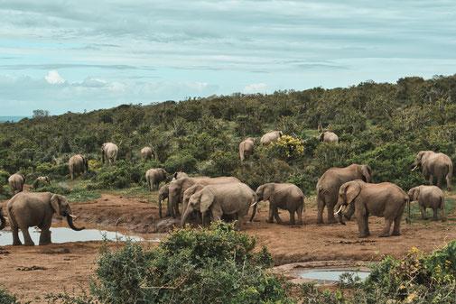 Eine Herde Elefanten steht um ein Wasserloch und trinkt. Im Hintergrund laufen Elefanten einen Hügel hoch und fressen.