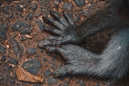 Affenhände um Affenwald in Ubud
