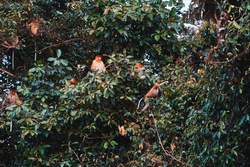 Langnasenaffen Im Baum
