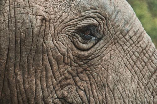 Ein Elefantenauge in der Nahaufnahme
