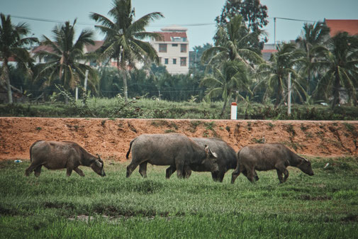 4 Wasserbüffel auf einem Reisfeld in Vietnam