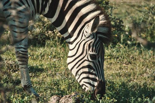 Ein Zebrakopf im Portrait. Frisst Gras.