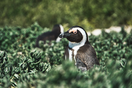 Pinguine am Boulders Beach, Südafrika