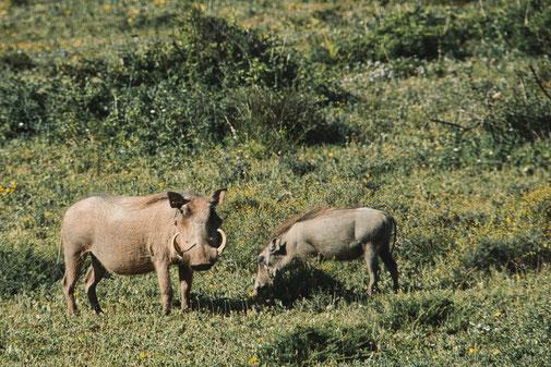 Zwei Warzenschweine stehen auf einer Wiese und fressen Gras