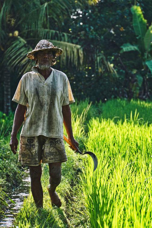 Reisbauer kommt mit Sense in Reisfeldern auf uns zu