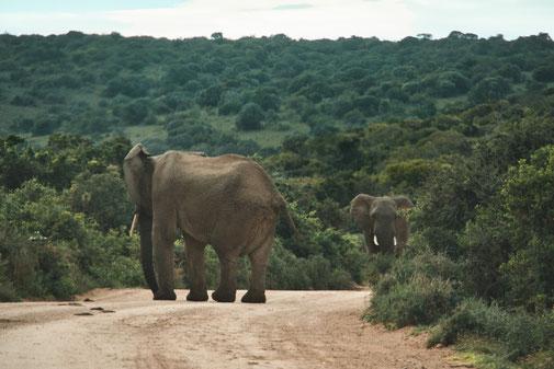 Zwei Elefantenbullen versperren eine Sandige Strasse.
