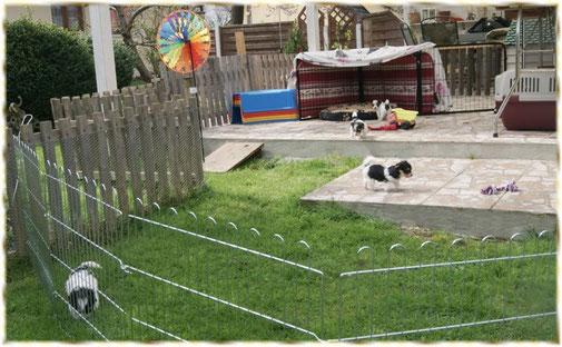 Unsere Biewer Yorkshire Welpen sind jetzt schon sechs Wochen alt und hopsen munter im Garten umher. Sie lieben beim Biewer-Yorkshire-Züchter in Mering bei Augsburg