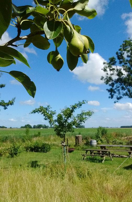 Eenrummer peren in de boomgaard