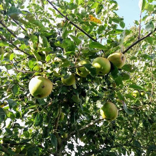 Zomer 2019: de appels zijn al vroeg rijp