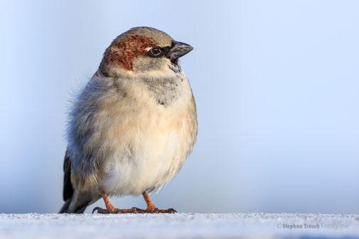 Der Haussperling hat nach 30 Jahren seinen Spitzenplatz als häufigster Brutvogel am Bodensee von 1980/81 verloren und steht mit einem Revierverlust von knapp 50% nur noch an dritter Stelle . . .  | Foto: Stephan Trösch
