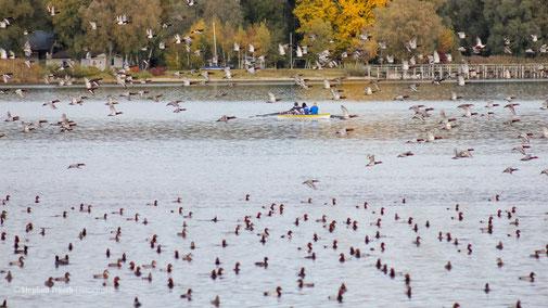 Störungen von z.B. ruhenden Wasservögeln in Schutzgebieten entstehen oft aus Unwissenheit oder Ignorierung von Schutzhinweisen | 26.10.2011, Radolfzeller Aachmündung, Foto: Stephan Trösch