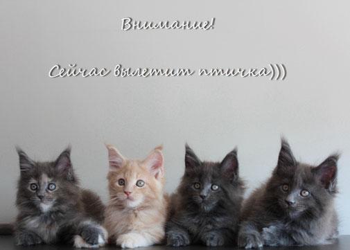 котята мейн-кун, продажа котят мейн-кун, питомник кошек