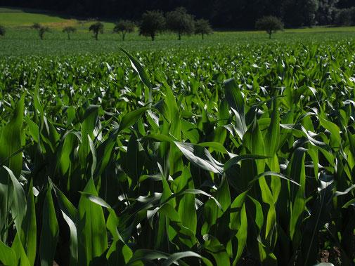Culture du maïs : un dosage de l'apport d'eau est essentiel pour cette culture / agralis vous informe