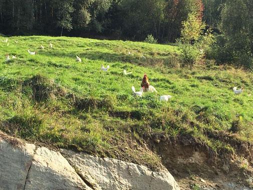 glückliche Hühner am Psegghof von Thoma Philipp