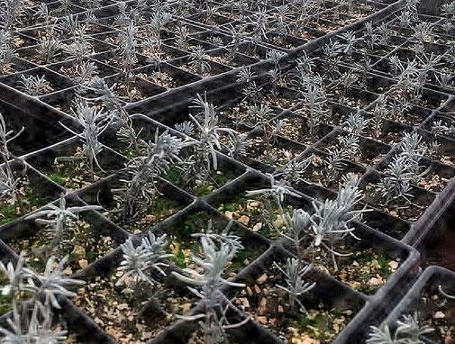 Lavendelunterpflanzung