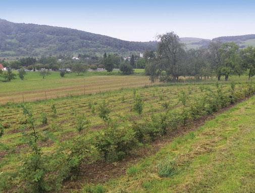Trüffelplantage in Neuhausen Hegau