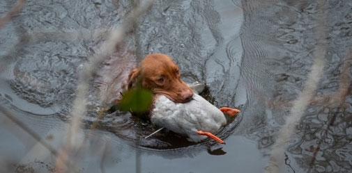 Hunt & Hound - Wasserübungstage für die Herbstzuchtprüfung HZP