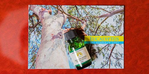 ユーカリグロブルス Eucalyptus globulus