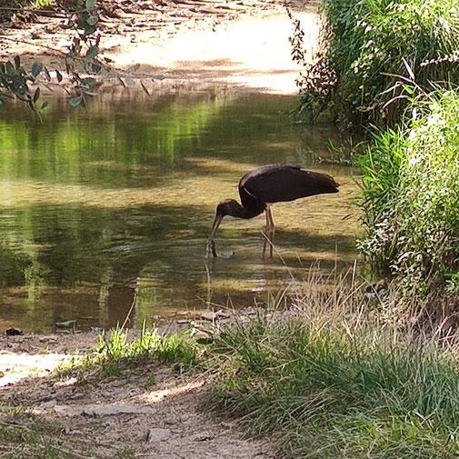 Rare photo d'une cigogne noire prise à proximité d'Aisy sur Armançon