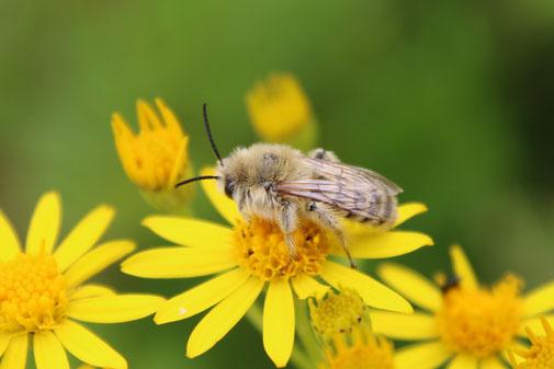 Wildbiene 24 gute Taten Kalender 2019 Bienenretter