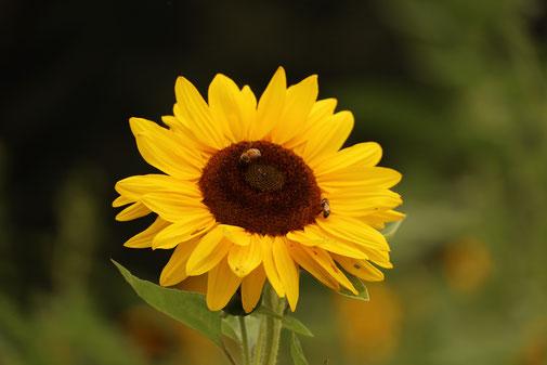 Sonnenblume, Insekten