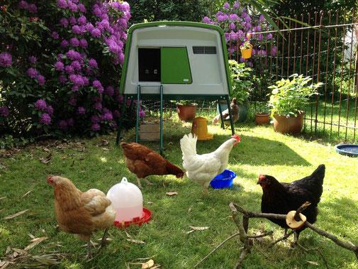 Miethühner im Hühnerstall Eglu Cube