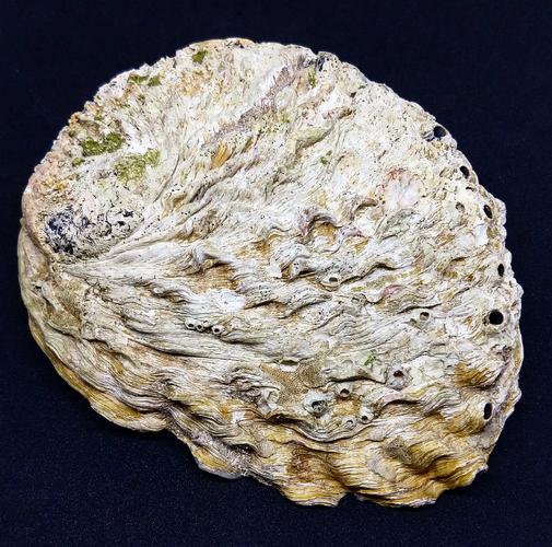 Paua 6