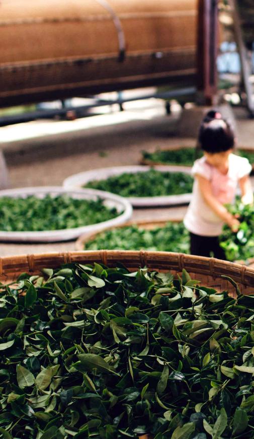 Bild: Matcha-Tee Koffein Wach Wirkung kaufen