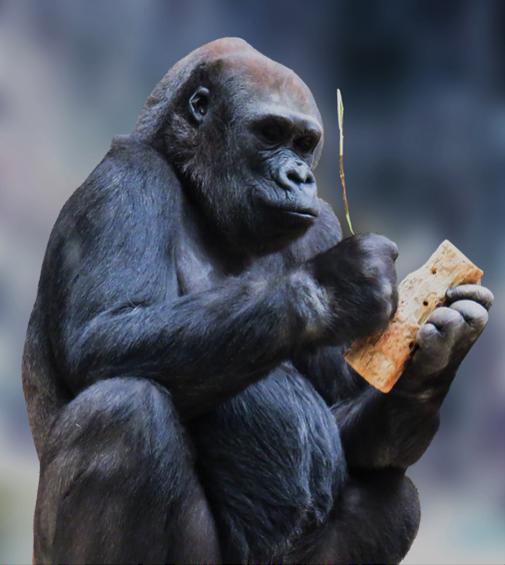 Der Gorilla weiß schon, was er tut