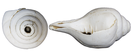 Conch with dextrous winding.