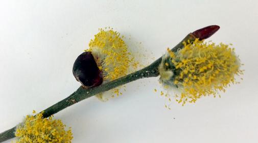 Gezeigt werden Pollen, die eine Allergie erzeugen