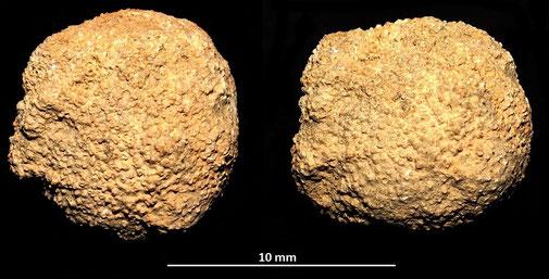 Colonia di briozoi, Toscana, Pliocene
