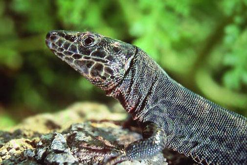 Adulto melánico de Podarcis liolepis atrata. Fuente: gva.es