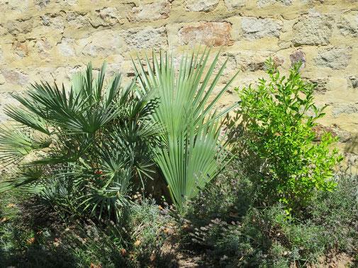 Gedeihen an einer gegen Süden ausgerichteten Mauer, wo perfekte mikroklimatische Bedingungen herrschen: (v. l. n. r.) Chamaerops humilis var. cerifera (Blaue Europäische Zwerpalme), Sabal bermudana (Bermuda Palmetto) und Citrumelo (Swingle Citrumelo)