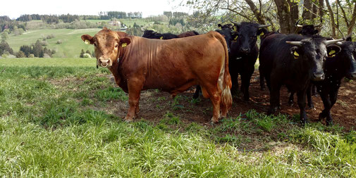 Dexter Rinder Kuh Bulle polled cattle