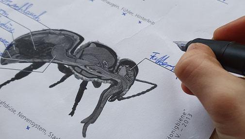Die Anatomie der Biene gehört mit zum Basiswissen der Imker Kids