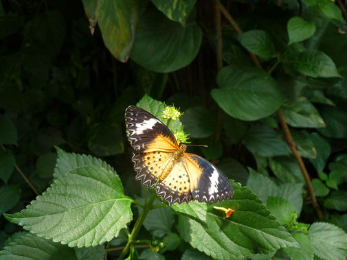 Natur Butterfly