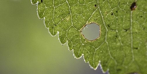 Nahaufnahme eines grünen Blatts mit einem Loch